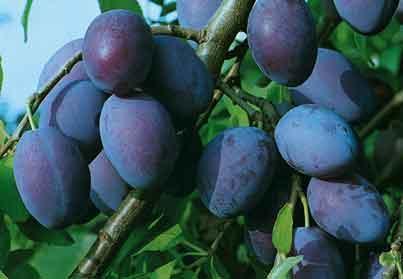 filet arbres fruitiers